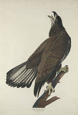 White Headed Eagle Print by John James Audubon