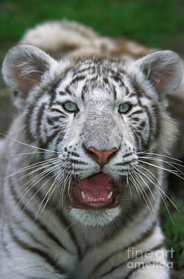 White Tiger Panthera Tigris Print by Gerard Lacz
