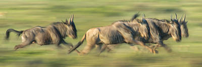 White Beard Photograph - Wildebeests Connochaetes Taurinus by Panoramic Images