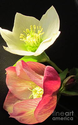 Photograph - Winter Rose by Joyce Woodhouse