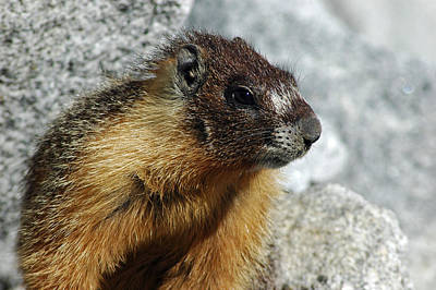Squirrel Photograph - Yosemite Yellow Bellied Marmot by LeeAnn McLaneGoetz McLaneGoetzStudioLLCcom