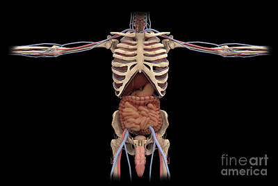 Costae Spuriae Digital Art - 3d Rendering Of Digestive System by Stocktrek Images