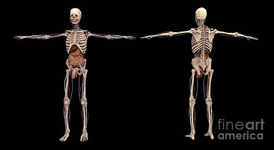 Costae Spuriae Digital Art - 3d Rendering Of Human Skeleton by Stocktrek Images