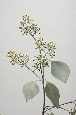 A Seeded Eucalyptus Eucalyptus Cinerea Print by Joel Sartore