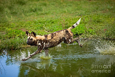 African Wild Dog Lycaon Pictus Print by Gerard Lacz