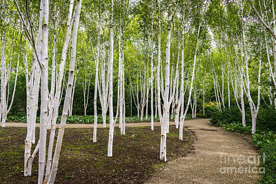 Woodlands Scene Mixed Media - Birch Trees by Svetlana Sewell