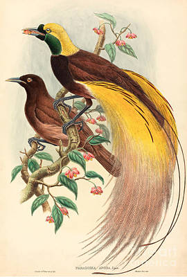 Bite Drawing - Bird Of Paradise by John Gould