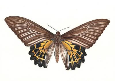 Moth Drawing - Birdwing Butterfly by Rachel Pedder-Smith