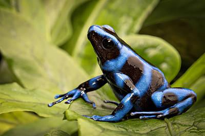 Frogs Photograph - Blue Poison Dart Frog by Dirk Ercken