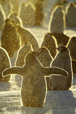 Christmas Lights Photograph - Emperor Penguin Aptenodytes Forsteri by Jan Vermeer