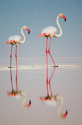 Birds Photograph - Greater Flamingos Phoenicopterus Roseus by Panoramic Images