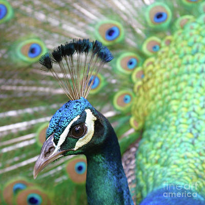 Peafowl Photograph - Indian Blue Peacock by Sharon Mau