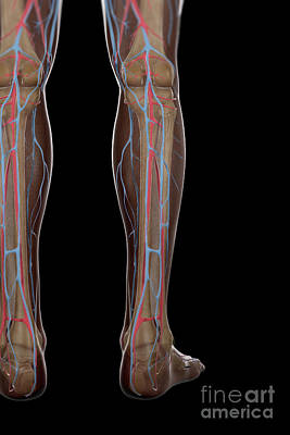 Leg Blood Supply Print by Science Picture Co