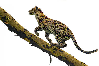 Leopard Panthera Pardus Climbing Print by Panoramic Images