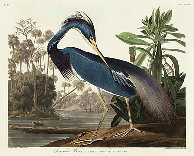 Jacques Painting - Louisiana Heron by John James Audubon
