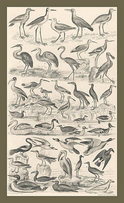 Stork Drawing - Ornithology by Captn Brown
