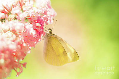 Butterfly Photograph - Pieris Brassicae, The Large White, Also Called Cabbage Butterfly by Amanda Mohler