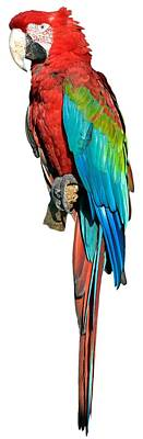 Parrot Photograph - Red And Green Macaw by George Atsametakis