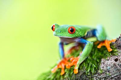 red eyed tree frog Costa Rica Print by Dirk Ercken