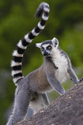 Ring-tailed Lemur Lemur Catta Portrait Print by Pete Oxford