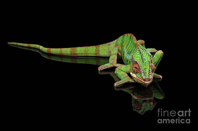 Reptiles Photograph - Sneaking Panther Chameleon, Reptile With Colorful Body On Black Mirror, Isolated Background by Sergey Taran