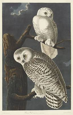 Owl Drawing - Snowy Owl by John James Audubon