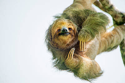 Toe Photograph - Three-toed Sloth Bradypus Tridactylus by Panoramic Images