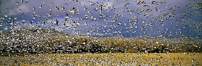 Snow Geese Photograph - A Panoramic Of Thousands Of Migrating by Panoramic Images