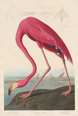 Wetlands Drawing - American Flamingo by John James Audubon