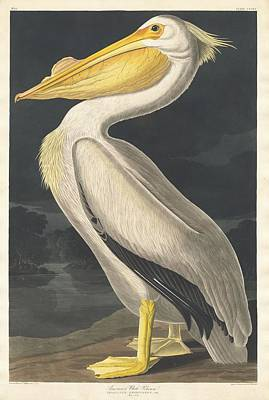 Pelican Drawing - American White Pelican by John James Audubon