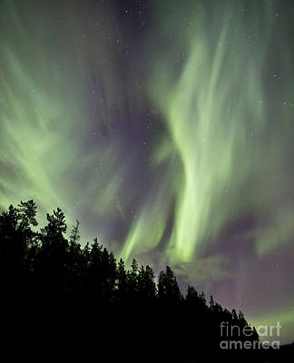 Aurora Borealis Over Trees, Yukon Print by Jonathan Tucker