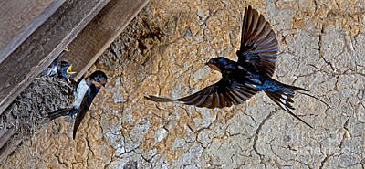 Swallow Photograph - Barn Swallow Hirundo Rustica by Gerard Lacz