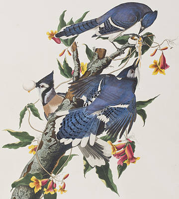 Bluejay Drawing - Blue Jay by John James Audubon