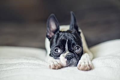 Dog Photograph - Boston Terrier Puppy by Nailia Schwarz