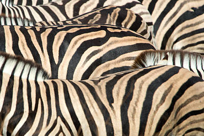 Of Zebras Photograph - Burchells Zebras Equus Quagga by Panoramic Images