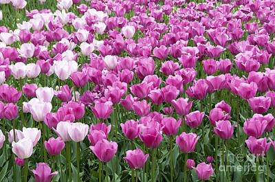 Floriade Photograph - Field With Tulips On The Floriade 2012   by Compuinfoto
