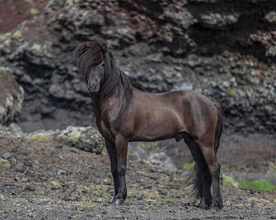 Icelandic Black Stallion, Iceland Print by Panoramic Images