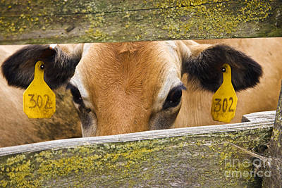 Jersey Cow Photograph - Jersey Cow by Inga Spence