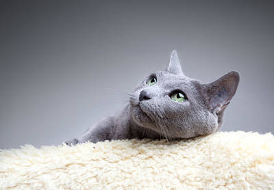 Shorthaired Photograph - Russian Blue Cat by Nailia Schwarz
