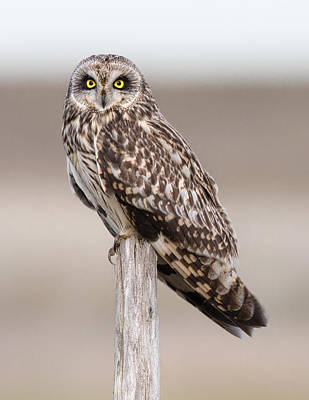 Owl Photograph - Short Eared Owl by Ian Hufton