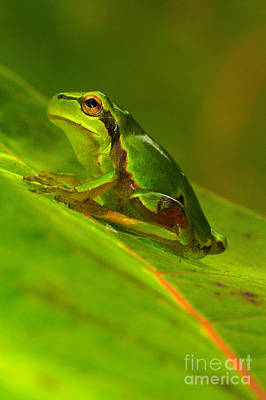 Frogs Photograph - Tree Frog by Odon Czintos