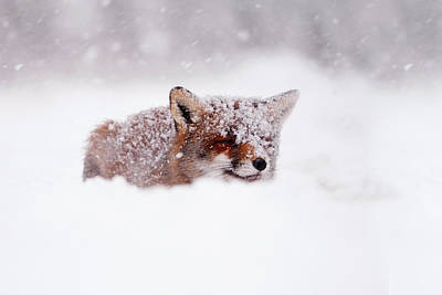 Fox Photograph - 50 Shades Of White And A Touch Of Red by Roeselien Raimond