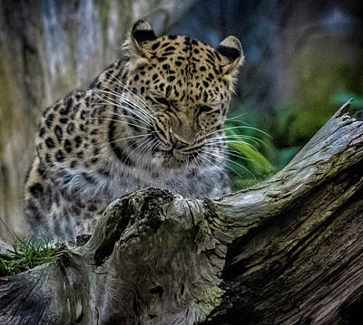 Amur Leopard Print by Martin Newman