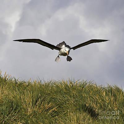 Black-browed Albatross Print by Jean-Louis Klein & Marie-Luce Hubert