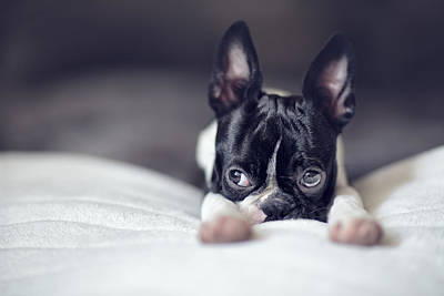 Funny Dog Photograph - Boston Terrier Puppy by Nailia Schwarz