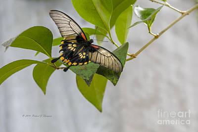 Butterfly Original by Richard J Thompson