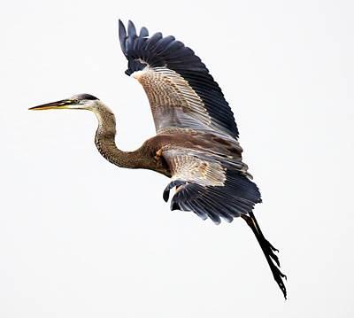 Great Blue Heron Print by Paulette Thomas
