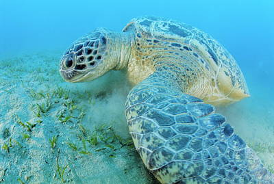 Green Sea Turtle Print by Alexis Rosenfeld