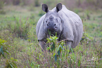 One Horned Rhino Photograph - Indian Rhinoceros, India by B. G. Thomson