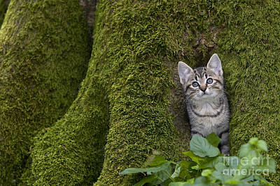 Gray Tabby Photograph - Kitten In A Mossy Tree by Jean-Louis Klein & Marie-Luce Hubert